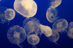 クラゲの大量発生