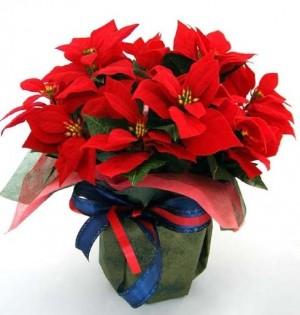 クリスマスのポインセチアの飾りの意味